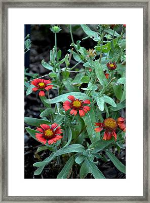 Gallant Gallardia Framed Print by Larry Jones