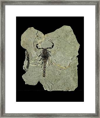 Gallio Scorpion Fossil Framed Print