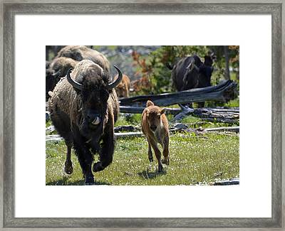 Gallopin Bison Mom And Calf Framed Print by Bruce Gourley
