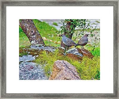 Gambel's Quail In Park Sierra Near Coarsegold-california Framed Print by Ruth Hager