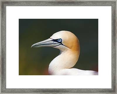 Framed Print featuring the photograph Gannet by Paul Scoullar