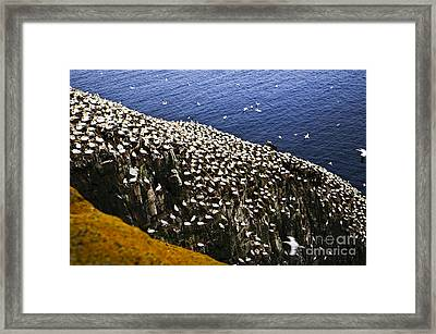 Gannets At Cape St. Mary's Ecological Bird Sanctuary Framed Print