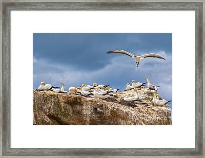 Gannets New Zealand Framed Print