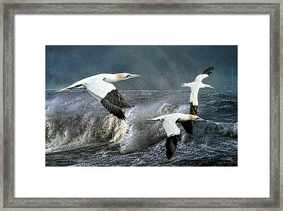 Framed Print featuring the photograph Gannets Skimming The Waves by Brian Tarr