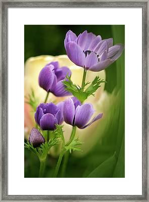 Garden Anemone (anemone Coronaria) Framed Print by Maria Mosolova