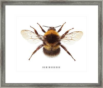 Garden Bumblebee Framed Print by Natural History Museum, London