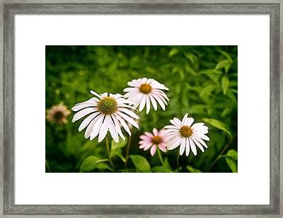 Garden Dasies Framed Print by Tom Mc Nemar