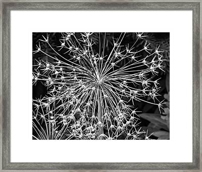 Garden Fireworks 2 Monochrome Framed Print by Steve Harrington