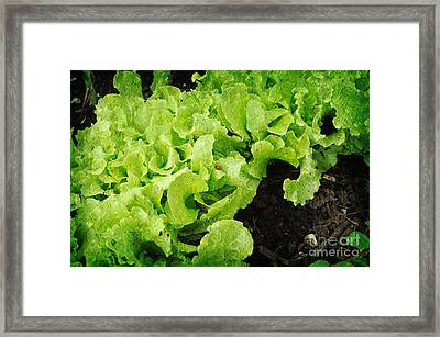 Garden Fresh Baby Lettuce And Lady Bug Framed Print by Andee Design