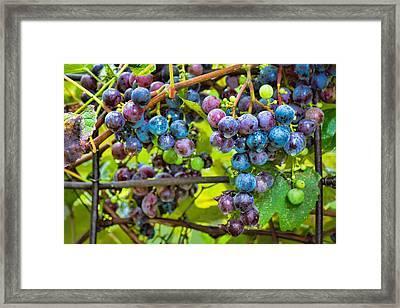 Garden Grapes Framed Print