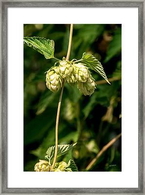 Garden Hops Framed Print by Mick Anderson