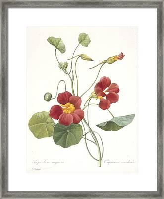 Garden Nasturtium Framed Print