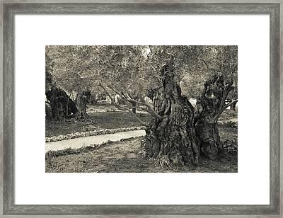 Garden Of Gethsemane, Mount Of Olives Framed Print
