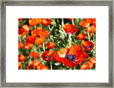 Framed Print featuring the photograph Garden Of Poppies by Lincoln Rogers