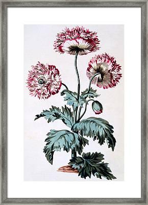 Garden Poppy With Black Seeds Framed Print by John Edwards