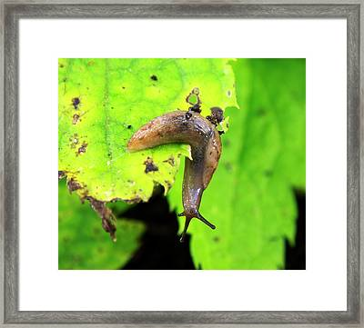 Garden Slug On A Leaf Framed Print