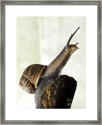 Garden Snail Framed Print by Ian Gowland