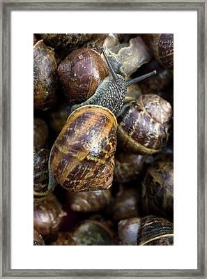 Garden Snails In A Flowerpot Framed Print by Dr Jeremy Burgess