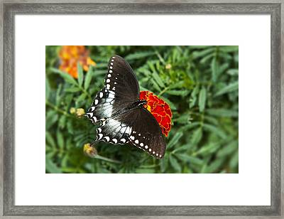Garden Spice Butterfly Framed Print by Christina Rollo