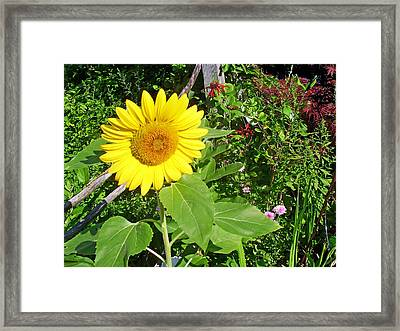 Garden Sunflower Framed Print by Aimee L Maher Photography and Art Visit ALMGallerydotcom