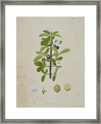 Gardenia Aligonosa Framed Print
