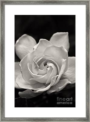Gardenia Bloom In Sepia Framed Print