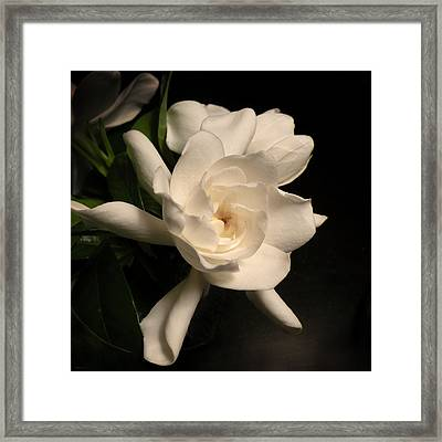 Gardenia Blossom Framed Print