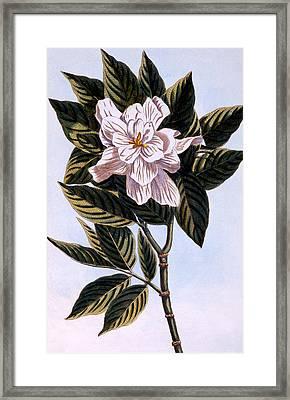 Gardenia G Augusta Framed Print