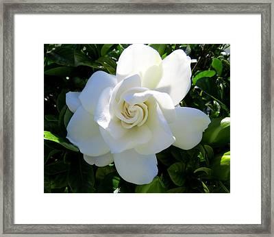 Gardenia Jasminoides Framed Print
