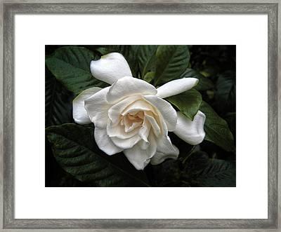 Gardenia Framed Print by Jessica Jenney