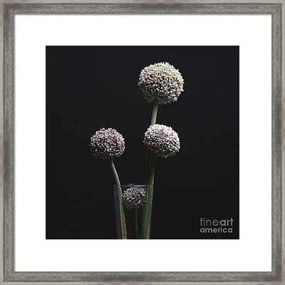 Garlic Flowers. Allium. Framed Print