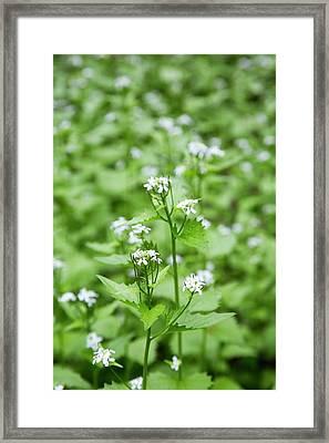 Garlic Mustard (alliaria Petiolata) Framed Print by Jim West