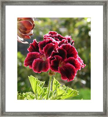 Framed Print featuring the photograph Garnet Geranium by Lew Davis