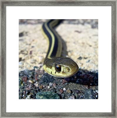 Garter Snake Framed Print