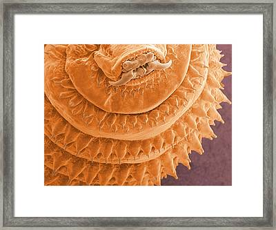 Gasterophilus Parasitic Fly Larva Framed Print by Thierry Berrod, Mona Lisa Production