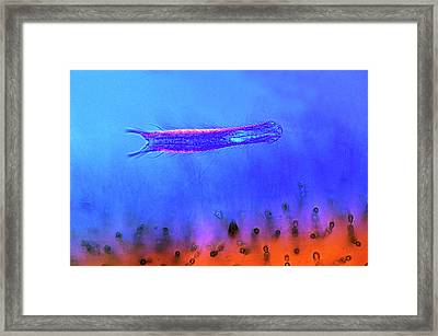 Gastrotrich And Red Algae Framed Print
