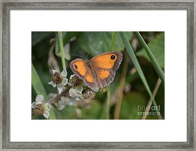 Framed Print featuring the photograph Gatekeeper Butteryfly by Scott Lyons