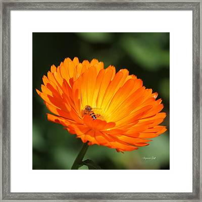 Gathering Nectar All The Day Long Framed Print by Suzanne Gaff