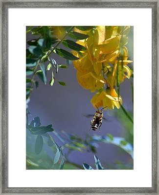 Gathering Nectar Framed Print by Renee Barnes