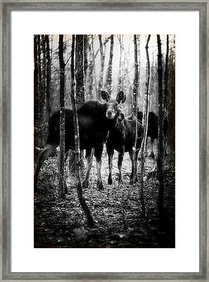 Gathering Of Moose Framed Print by Bob Orsillo