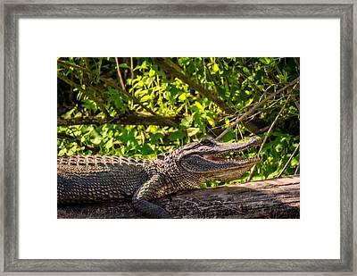 Gator 2 Framed Print by Steve Harrington
