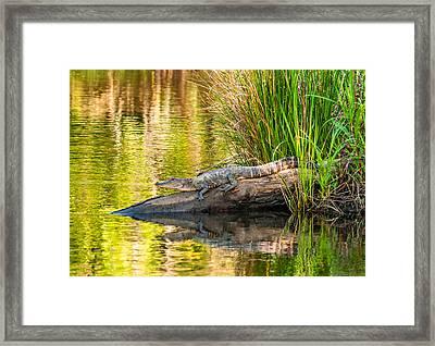 Gator 3 Framed Print by Steve Harrington