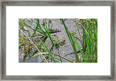 Gator Baby 2 Framed Print by D Wallace