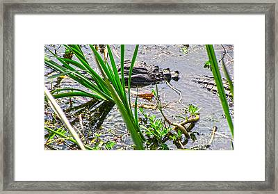 Gator Baby Framed Print by D Wallace