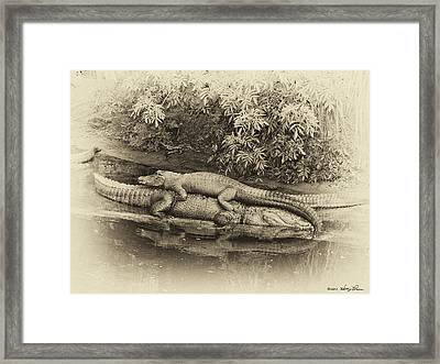 Gator Back Ride Framed Print by Kathy Ponce