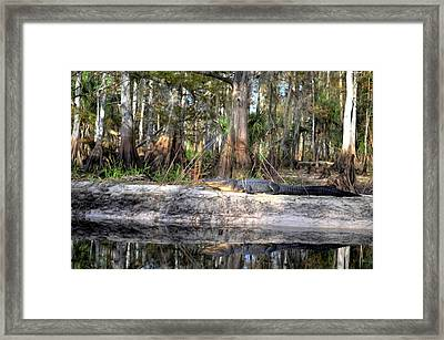 Gator Country Framed Print by Bob Jackson