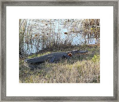 Gator Football Framed Print