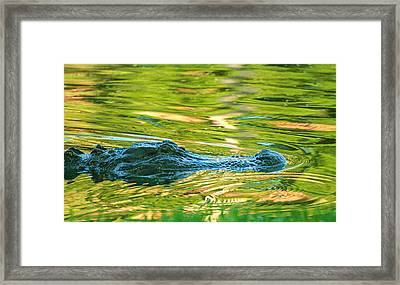 Gator In Pond Framed Print