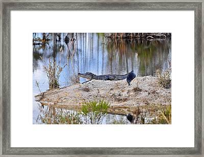 Gator On The Mound Framed Print