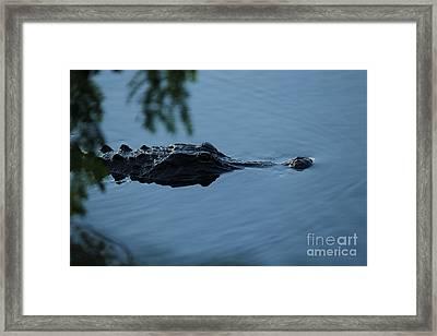 Gator On The Prowl Framed Print